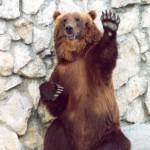 Медведи сосут лапу?