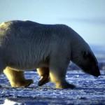 Популяция белых медведей.