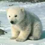 Белые медведи стёрли спину о земную ось.