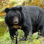 Поведение белогрудого медведя