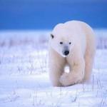 Белый медведь – большой и пушистый