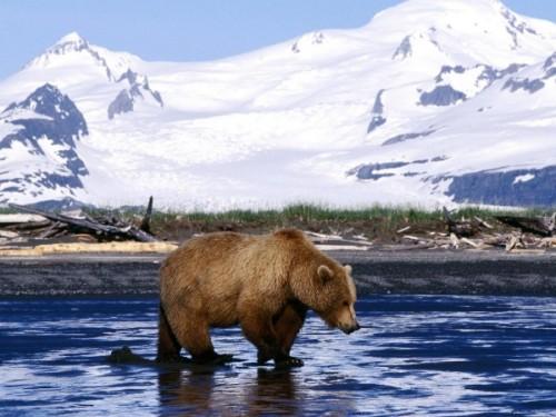 Бурый медведь 3