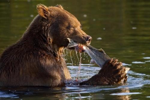рыба и медведи 4