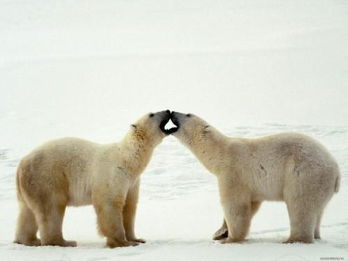 Где в мире можно встретить медведей?1