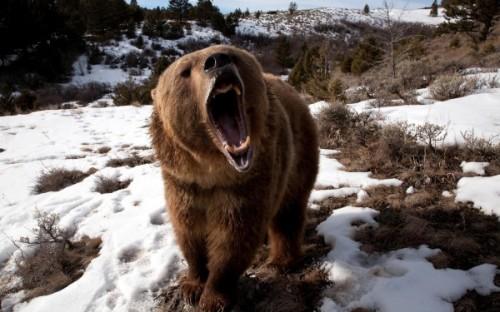 Где можно увидеть медведей? 2