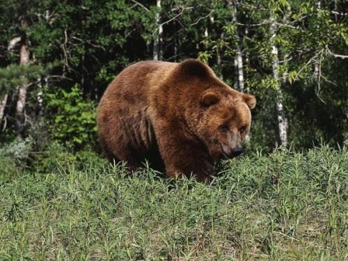 Где можно увидеть медведей? 3