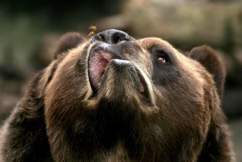 Медведи: что мы знаем о них