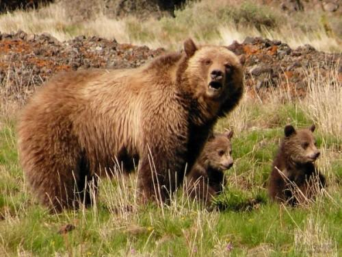 Медведь: среда обитания и питание2