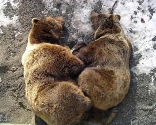Медведь – хищник широкой среды обитания