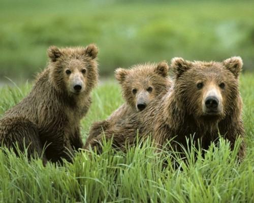 Обитание, питание и привычки медведей1