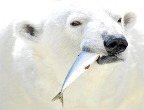 Особенности и характер полярных медведей3