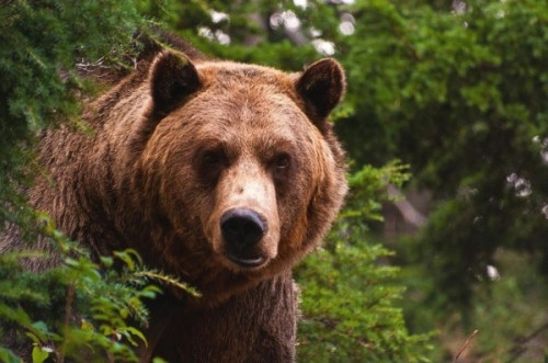 Питание содержащихся в неволе бурых медведей