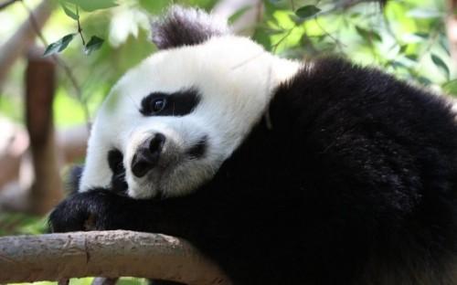 Поведение и привычки большой панды