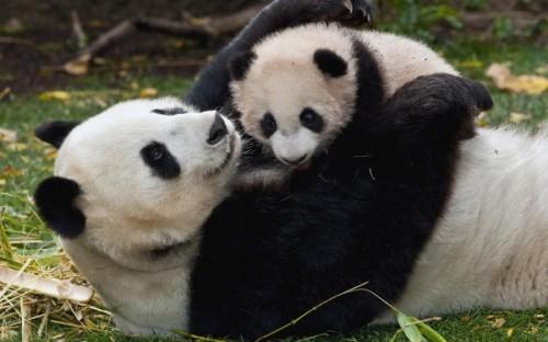 Поведение и привычки большой панды3