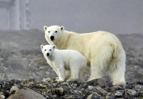 Спячка медведей. Воспитание потомства. 1
