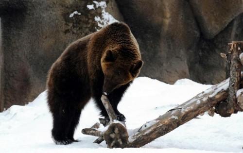медведи в зоопарках зимой 3
