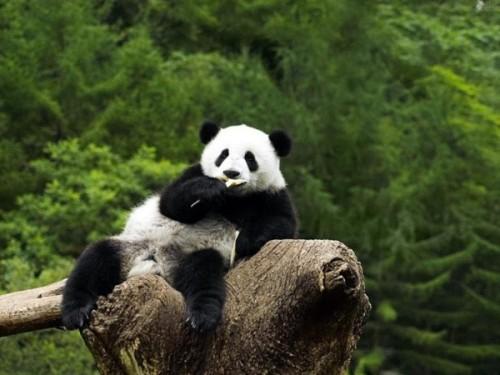 Бамбуковая панда – красивый плюшевый медведь