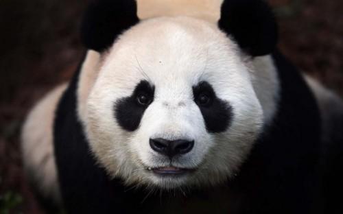 Бамбуковая панда – красивый плюшевый медведь1