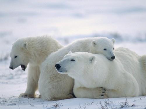 Белые медведи: крупные и прожорливые хищники