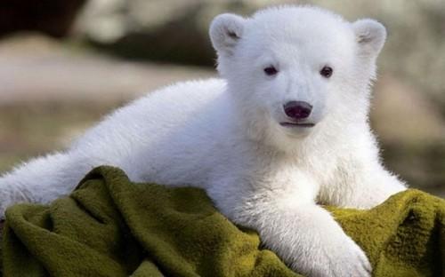 Белые медведи 2