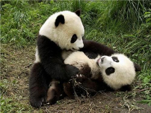 Большая панда 2