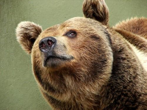 Как и чем питается бурый медведь3