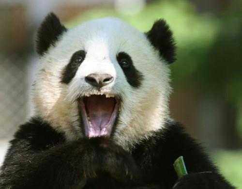 Национальное сокровище Китая - большая панда3