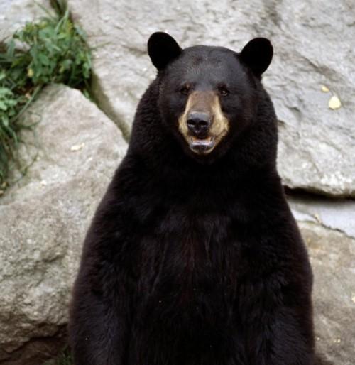 Обитание черных медведей или кто такой барибал3