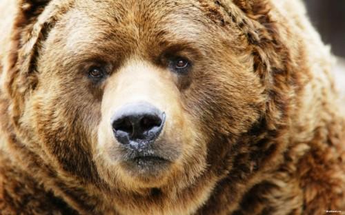 Оригинальный представитель отряда хищников - медведь