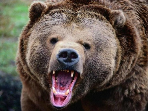 Особенности лечения зубов у медведей3