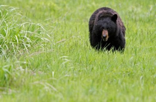 Особенности обитания и поведения американского черного медведя