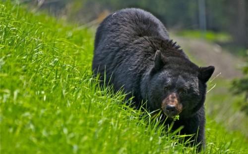 Особенности обитания и поведения американского черного медведя1