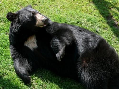 Особенности обитания и поведения американского черного медведя3