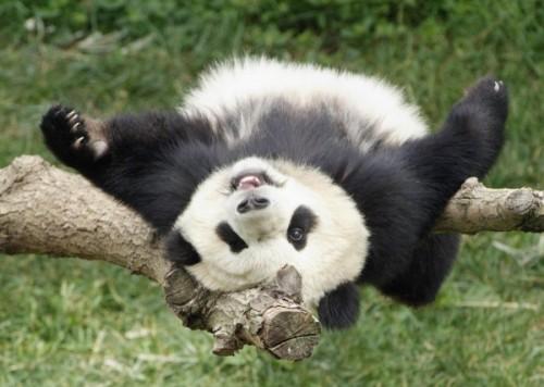 Панда не перестает быть популярнейшим символом Поднебесной.