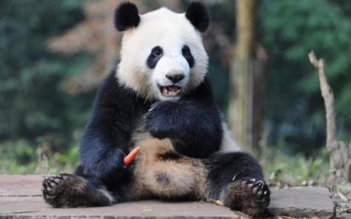 Панда не перестает быть популярнейшим символом Поднебесной.1