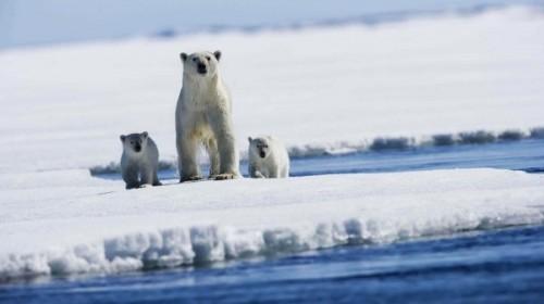 Полярные медведи и глобальное потепление1