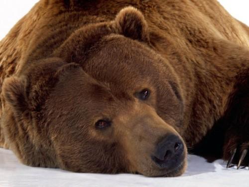 Рацион камчатского медведя: преобладающее вегетарианство.