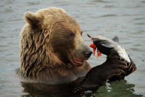 Рацион камчатского медведя: преобладающее вегетарианство. 2