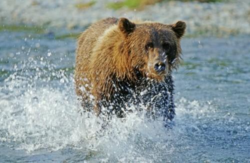 Ареал обитания таинственных и опасных медведей гризли