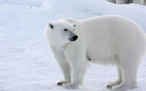 Белые медведи. Повадки и среда обитания