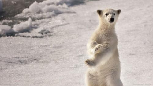 Белые медведи. Повадки и среда обитания2