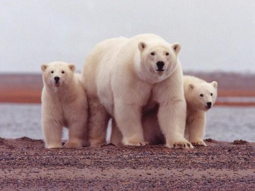 Белый медведь на грани исчезновения
