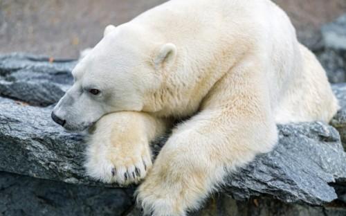 Белый медведь на грани исчезновения2