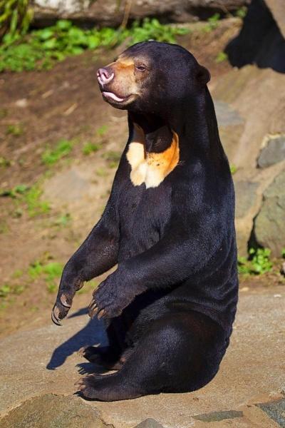 Вся правда о малайском медведе!3