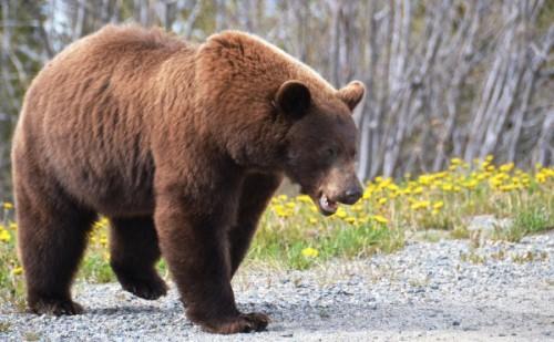 Жизнь и повадки медведей гризли