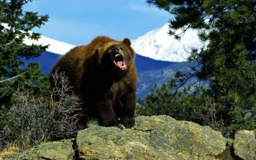 Жизнь и повадки медведей гризли2