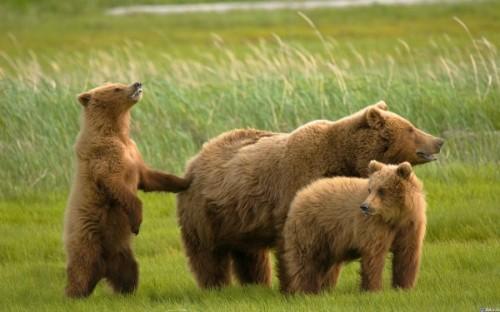 Злобный рев или медведи гризли!