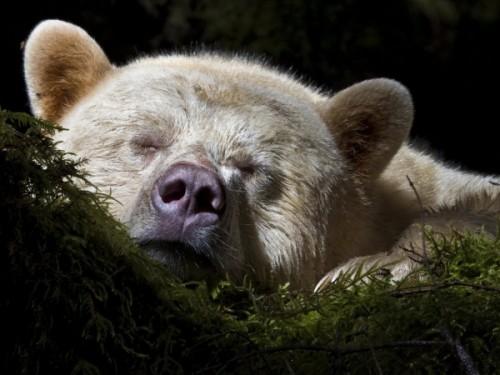 Как содержать медведей в неволе?