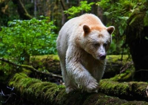Кермодский медведь-