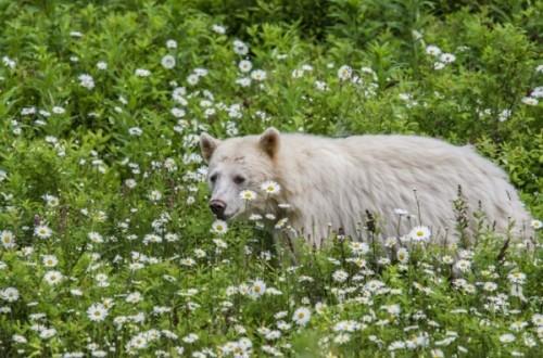 Кермодский медведь-3